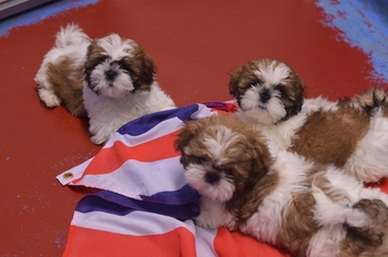 Four dogs named after Olympic showjumping champions